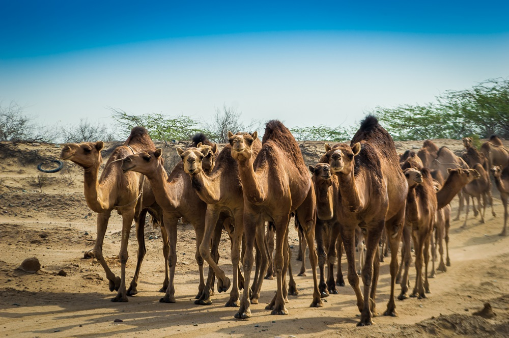 The Genes in Camel Kidneys Can Be Switched On and Off to Survive Dehydration